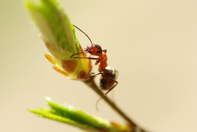 Ameisen Steckbrief - Bilder, Verhalten, Rassen und Arten
