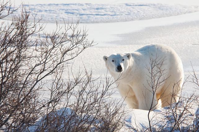 Eisbären Steckbrief - Bilder, Verhalten, Rassen und Arten