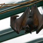 Fledermaus Steckbrief – Bilder, Verhalten, Rassen und Arten