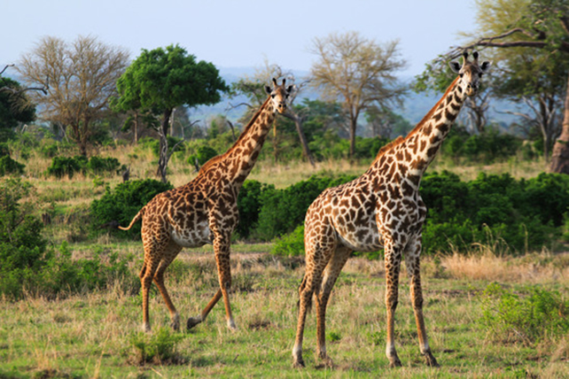 Giraffen Steckbrief - Bilder, Verhalten, Rassen und Arten