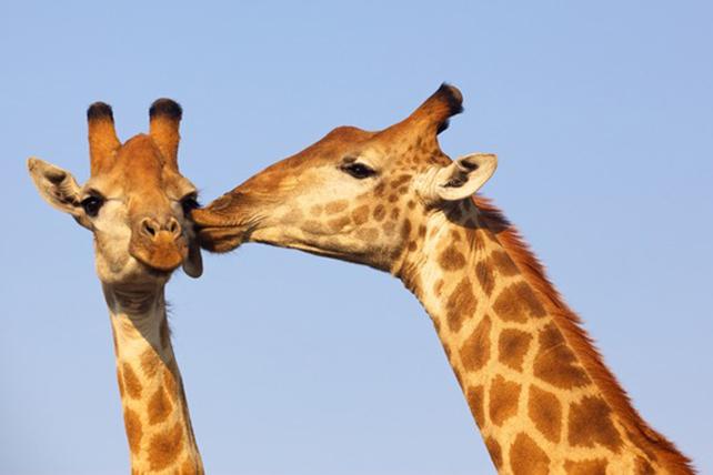 giraffen-2