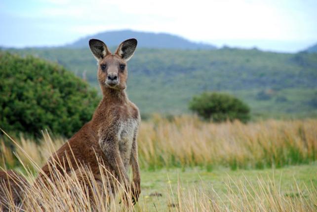 Känguru Steckbrief - Bilder, Verhalten, Rassen und Arten