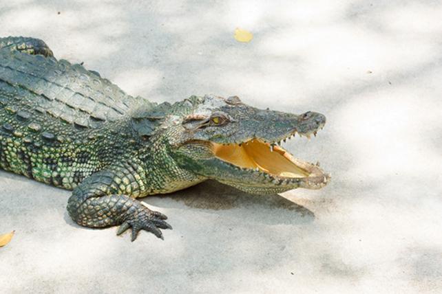 Krokodile Steckbrief - Bilder, Verhalten, Rassen und Arten