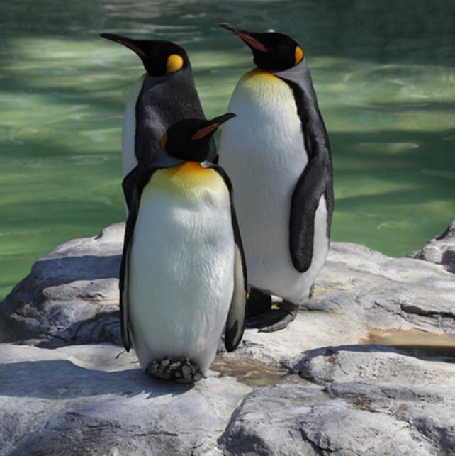 pinguin-2