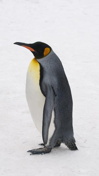 pinguin-3