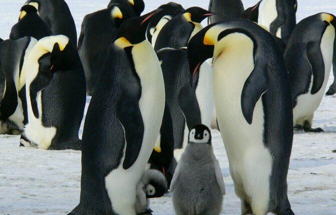 Pinguin Steckbrief - Bilder, Verhalten, Rassen und Arten