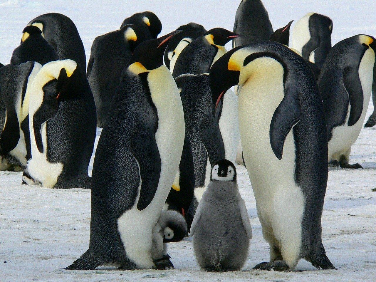 Pinguin Steckbrief – Bilder, Verhalten, Rassen und Arten