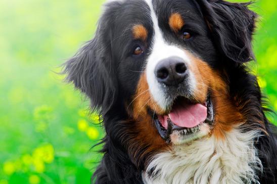 Berner Sennenhund Steckbrief - Charakter, Temperament, Erziehung