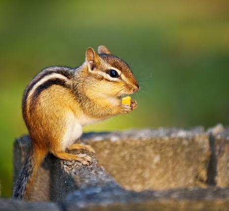 Chipmunk / Streifenhörnchen Steckbrief - Heimat, Merkmale, Ernährung