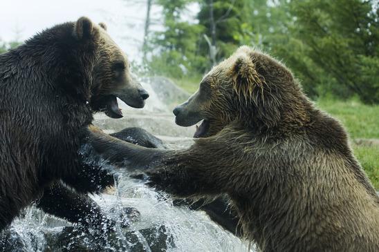 Grizzlybär Steckbrief - Heimat, Alter, Vermehrung