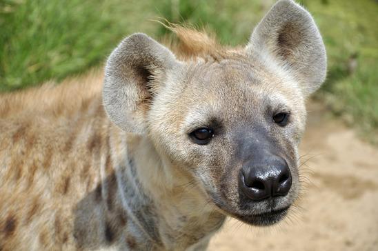 Hyäne Steckbrief - Abstammung, Merkmale, Nahrung