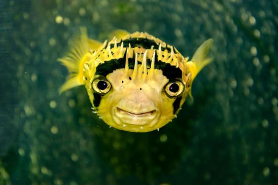 Igelfisch Steckbrief - Aussehen, Lebensraum, Nahrung, Gefährdung