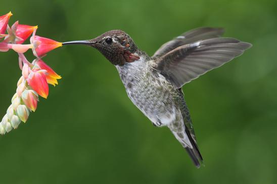 Kolibri Steckbrief - Merkmale, Heimat, Verhalten