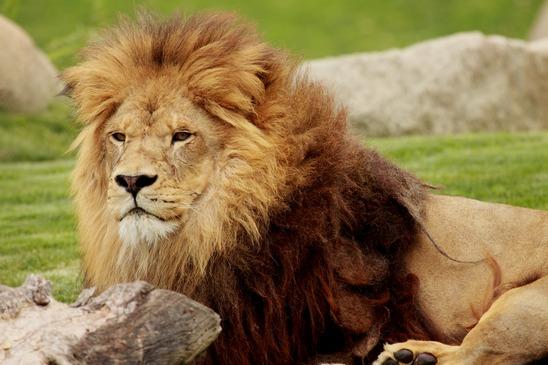 Löwe Steckbrief - Verhalten, Merkmal, Vermehrung