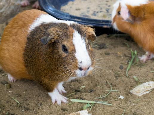 Meerschweinchen Steckbrief - Allgemeines, Verhalten, Rassen