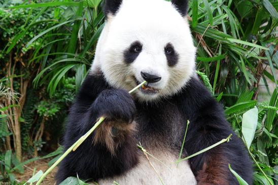 Panda Steckbrief - Aussehen, Heimat, Ernährung