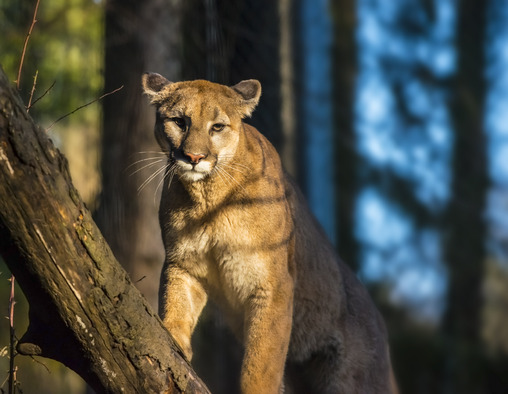 Steckbrief Puma
