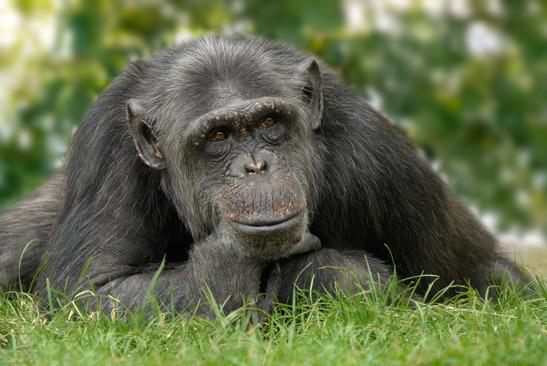 Schimpanse Steckbrief - Verbreitung, Aussehen, Verhalten