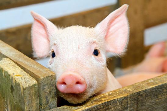Teacup Schweinchen Steckbrief - Herkunft, Ernährung, Verhalten