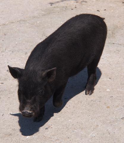 Teacup Schweinchen