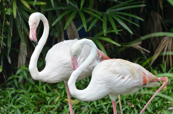 Steckbrief Flamingo - Aussehen, Ernährung, Vorkommen