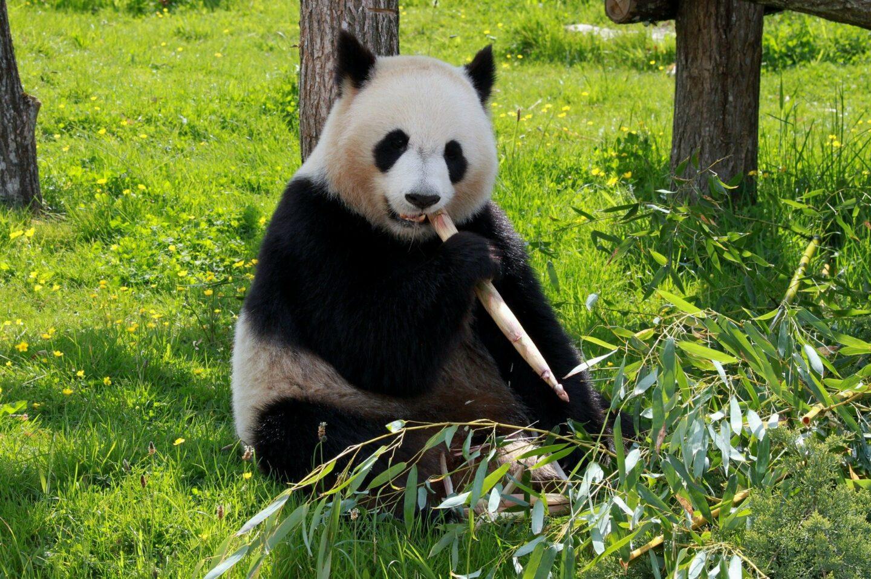 Panda Steckbrief – Aussehen, Heimat, Ernährung