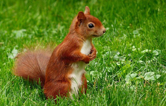 Eichhörnchen Steckbrief - Arten, Nahrung & Abstammung