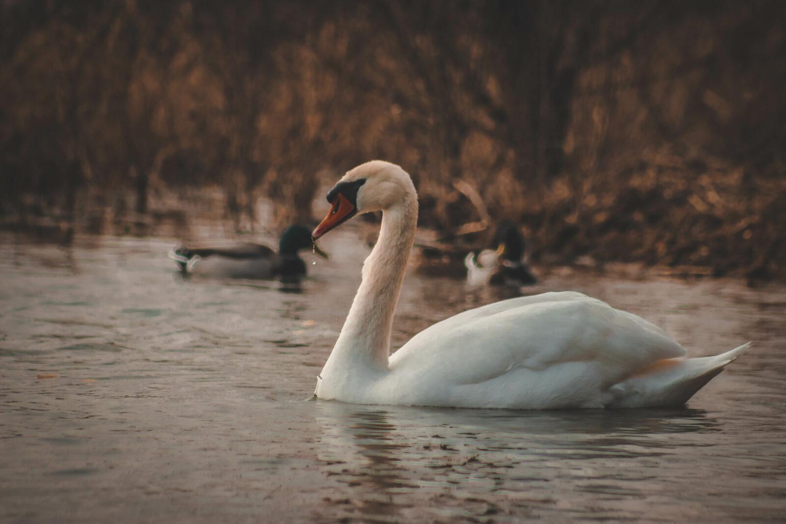 Schwan Steckbrief – Allgemeines, Arten, Vermehrung