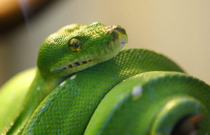 Mamba Steckbrief - Arten, Giftigkeit, Aussehen, Vorkommen
