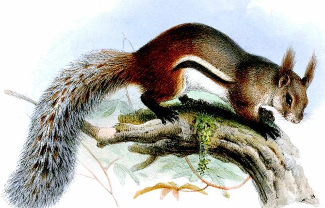 Borneo-Hörnchen Steckbrief - Merkmale, Verbreitung, Nahrung