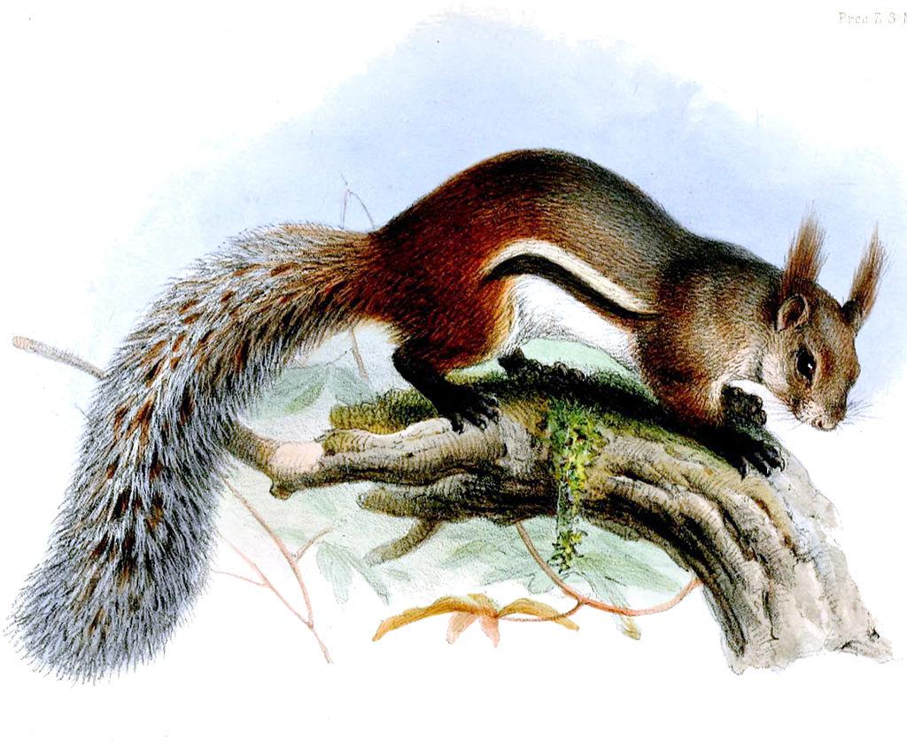 Borneo-Hörnchen Steckbrief – Merkmale, Verbreitung, Nahrung