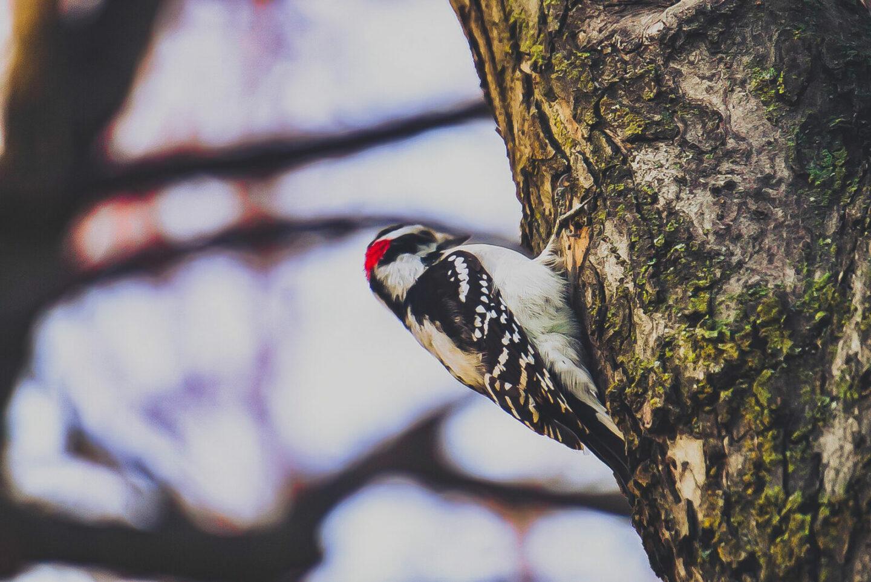 Buntspecht Steckbrief – Allgemein, Aussehen, Merkmale