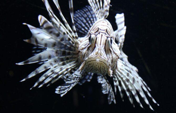 Feuerfisch Steckbrief - Aussehen, Gift, Lebensraum