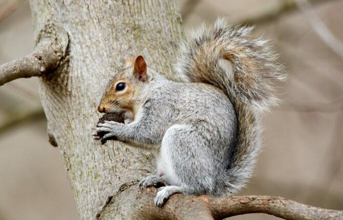 Grauhörnchen Steckbrief - Lebenserwartung, Herkunft, Lebensraum