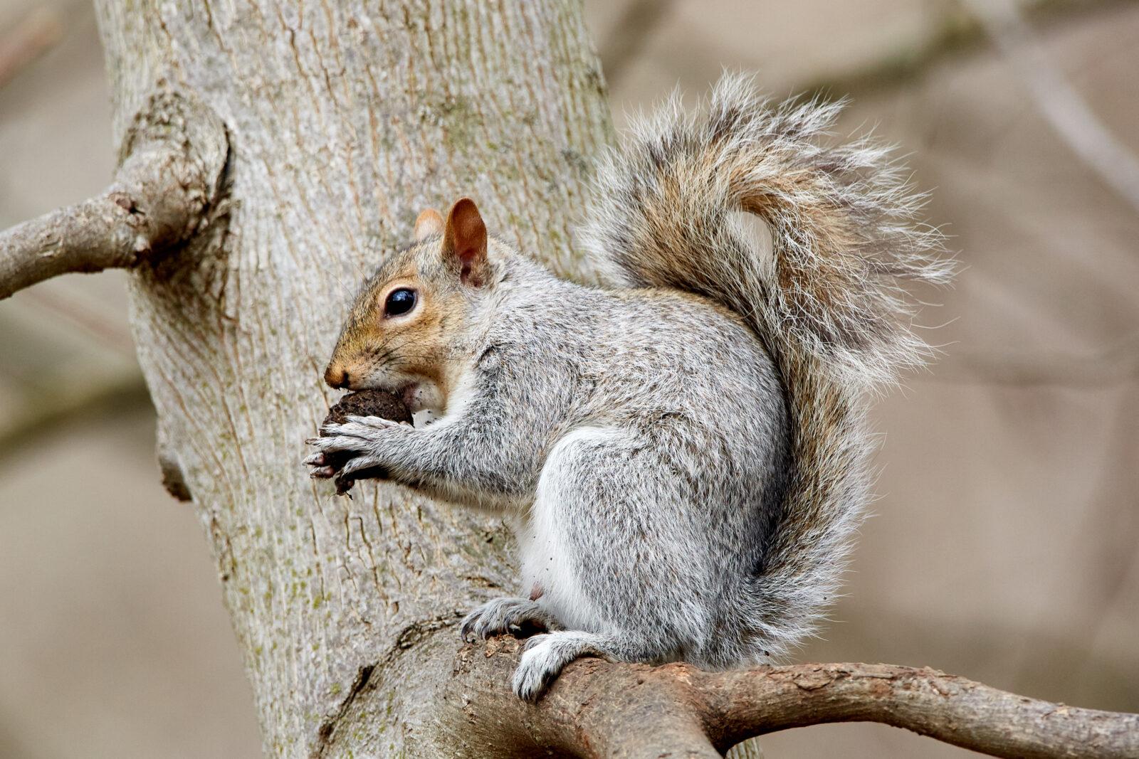 Grauhörnchen Steckbrief – Lebenserwartung, Herkunft, Lebensraum