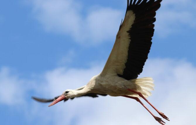 Storch Steckbrief - Lebensraum, Fortpflanzung