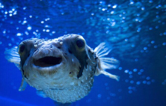 Kugelfisch Steckbrief - Merkmale, Arten, Schwimmweise