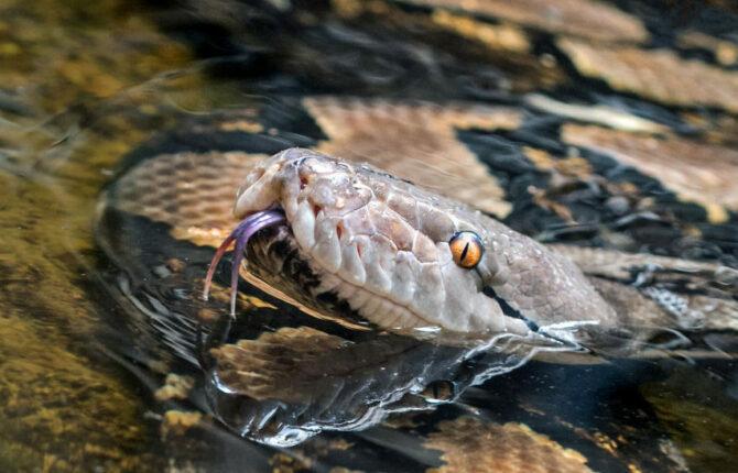 Python Steckbrief - Lebensweise, Nahrung, Arten