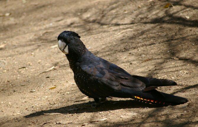 Schwarzer Papagei Steckbrief - Palmkakadu, Rabenkakadu