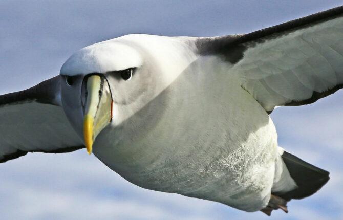 Albatros Meeresvogel -  Steckbrief