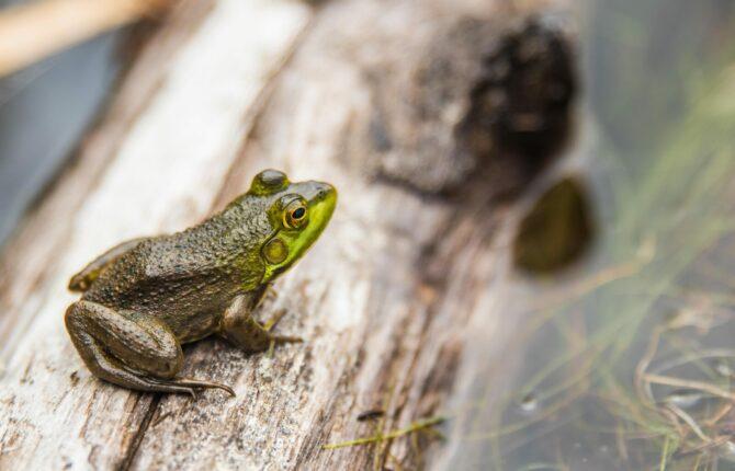 Teichfrosch auch Wasserfrosch - Steckbrief - Lebensraum, Nahrung, Alter