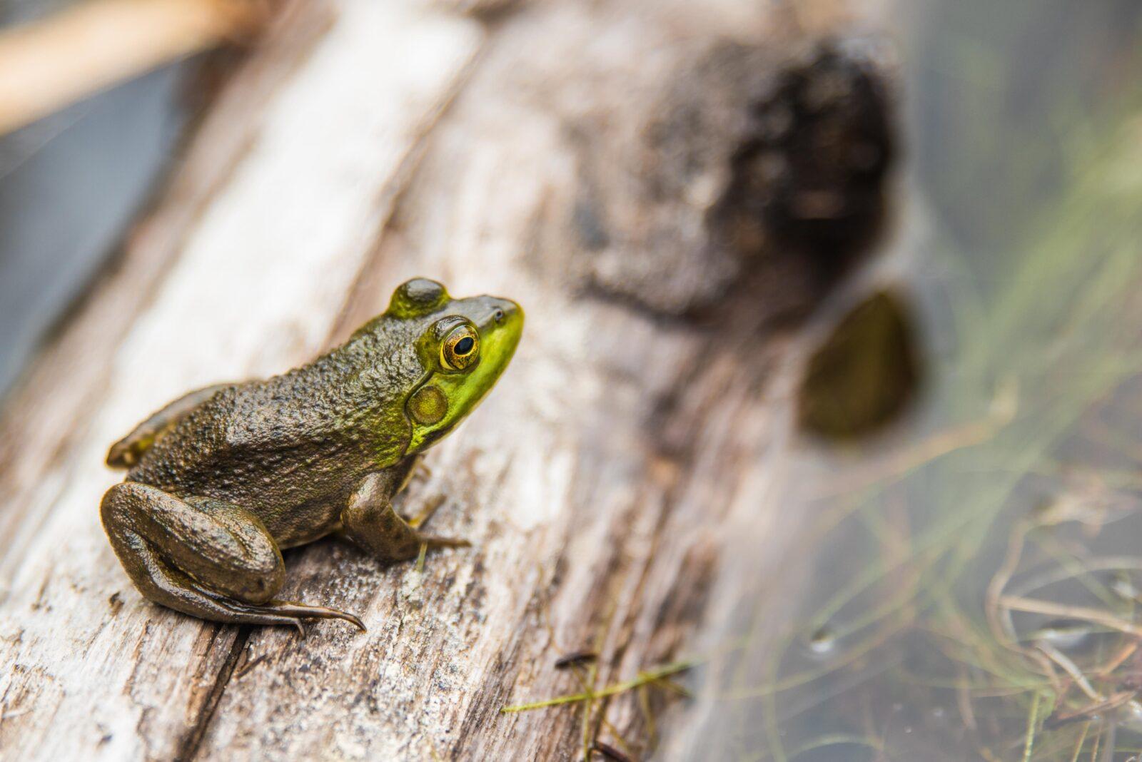 Teichfrosch auch Wasserfrosch – Steckbrief – Lebensraum, Nahrung, Aussehen, der Ruf