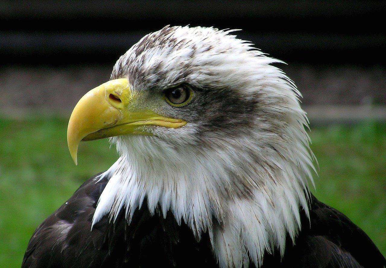 Adler Steckbrief – Arten und Bilder