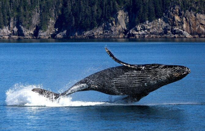Finnwal Steckbrief - Aussehen, Fortpflanzung, Lebensweise