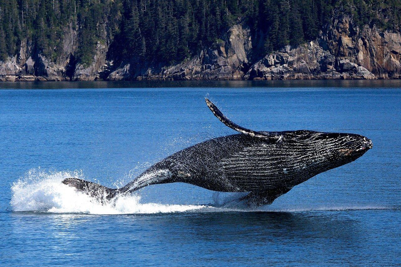 Finnwal Steckbrief – Aussehen, Fortpflanzung, Lebensweise