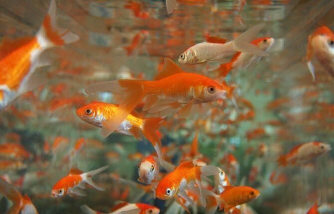 Goldfisch Steckbrief - Zuchtformen, Zimmerhaltung, Teichhaltung