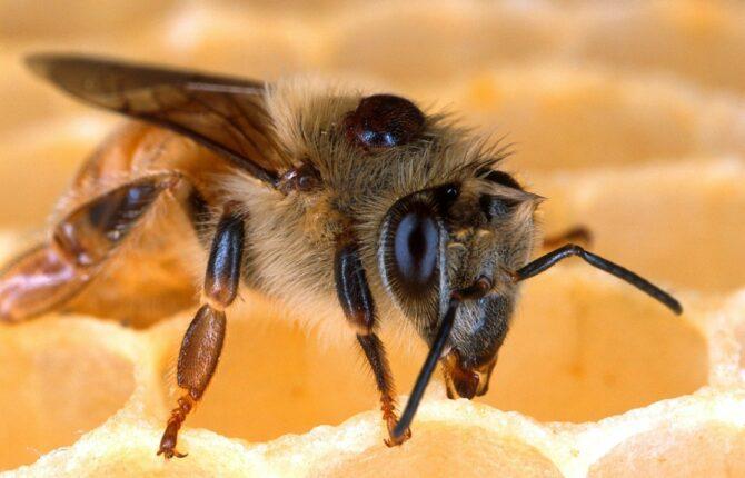 Honigbiene Steckbrief - Brutgewohnheiten, Funktion der Königin & der Arbeiterinnen