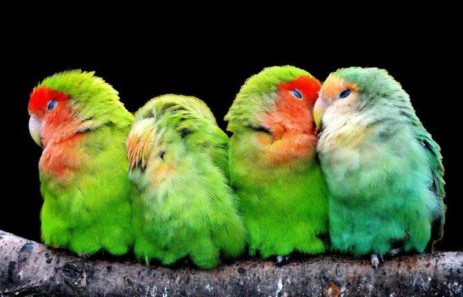 Kanarienvogel Steckbrief - Lebensweise, Nahrung, Fortpflanzung