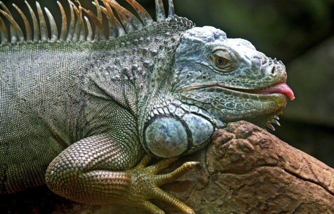 Leguan Steckbrief - Verbreitung, Arten, Aussehen