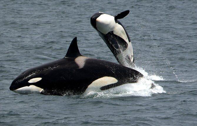 Orca Steckbrief - Aussehen, Namen, Gefangenschaft